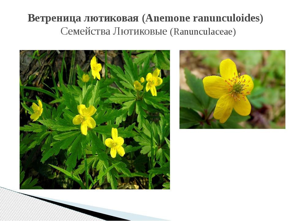 Ветреница лютиковая (Anemone ranunculoides) СемействаЛютиковые (Ranunculace...