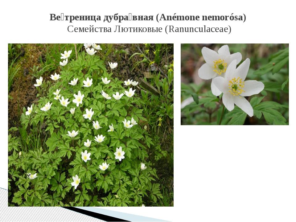 Ве́треница дубра́вная (Anémone nemorósa) СемействаЛютиковые (Ranunculaceae)
