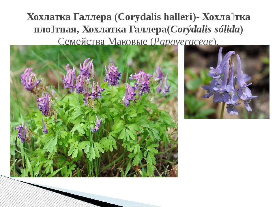 Хохлатка Галлера (Corydalis halleri)- Хохла́тка пло́тная, Хохлатка Галлера(Co...