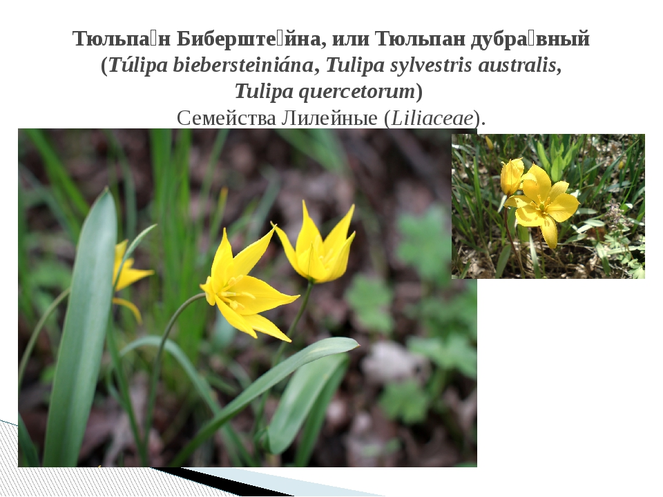 Тюльпа́н Биберште́йна, илиТюльпан дубра́вный (Túlipa biebersteiniána, Tulipa...