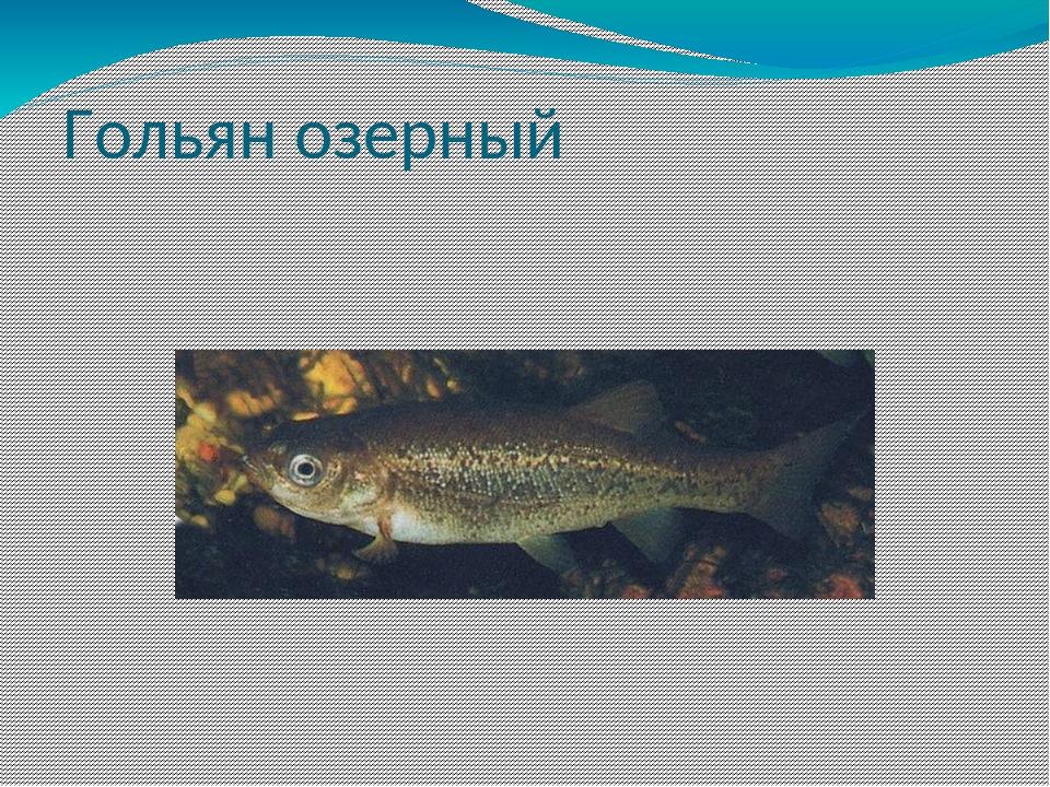 Гольян озерный