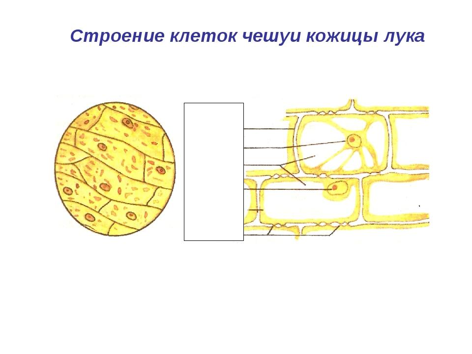 Одна клетка кожицы лука картинки