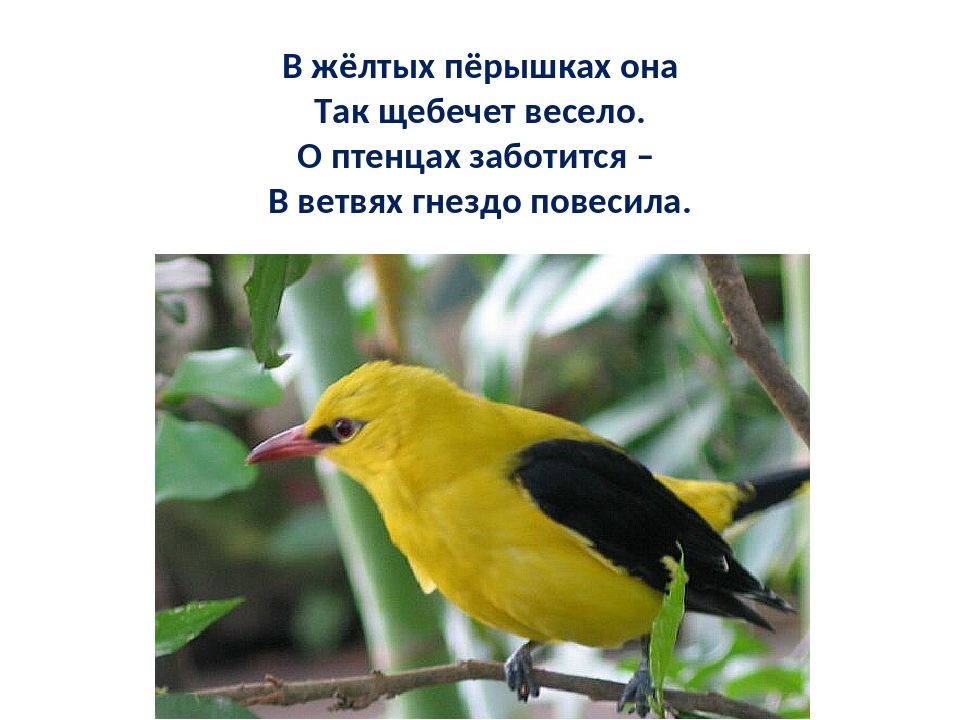 Иволга фото птицы и описание легко могут