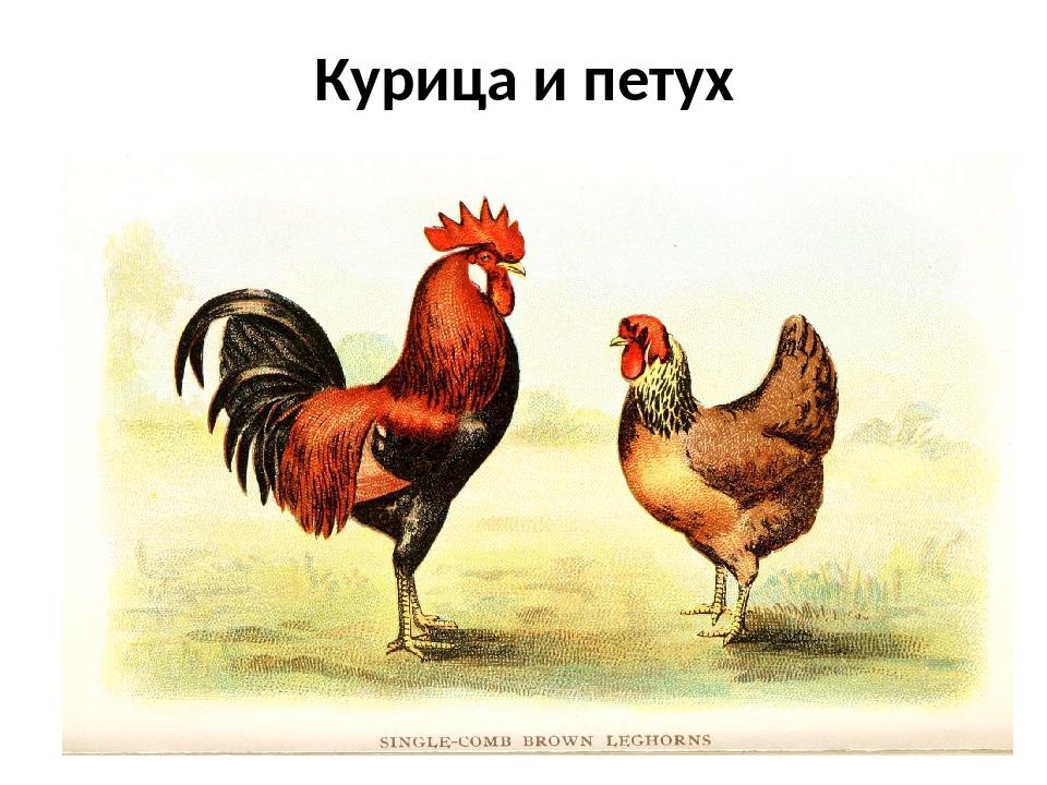 Рисунок петуха и курицы для детей