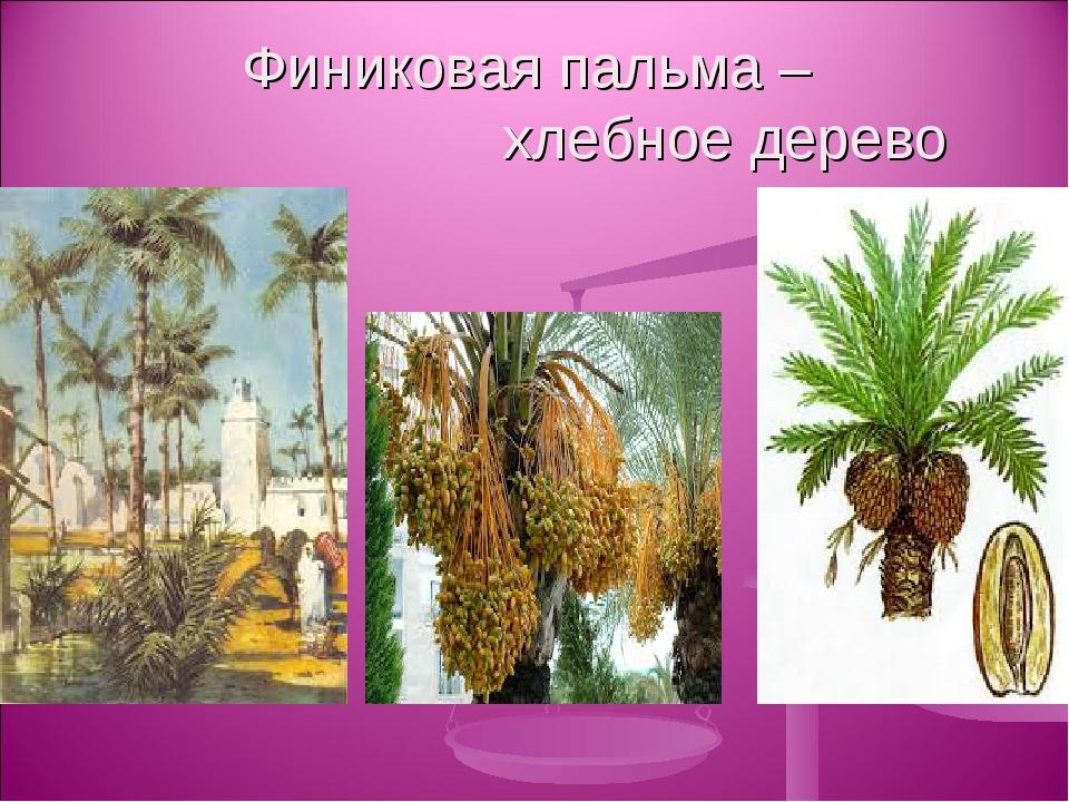 Финиковая пальма – хлебное дерево