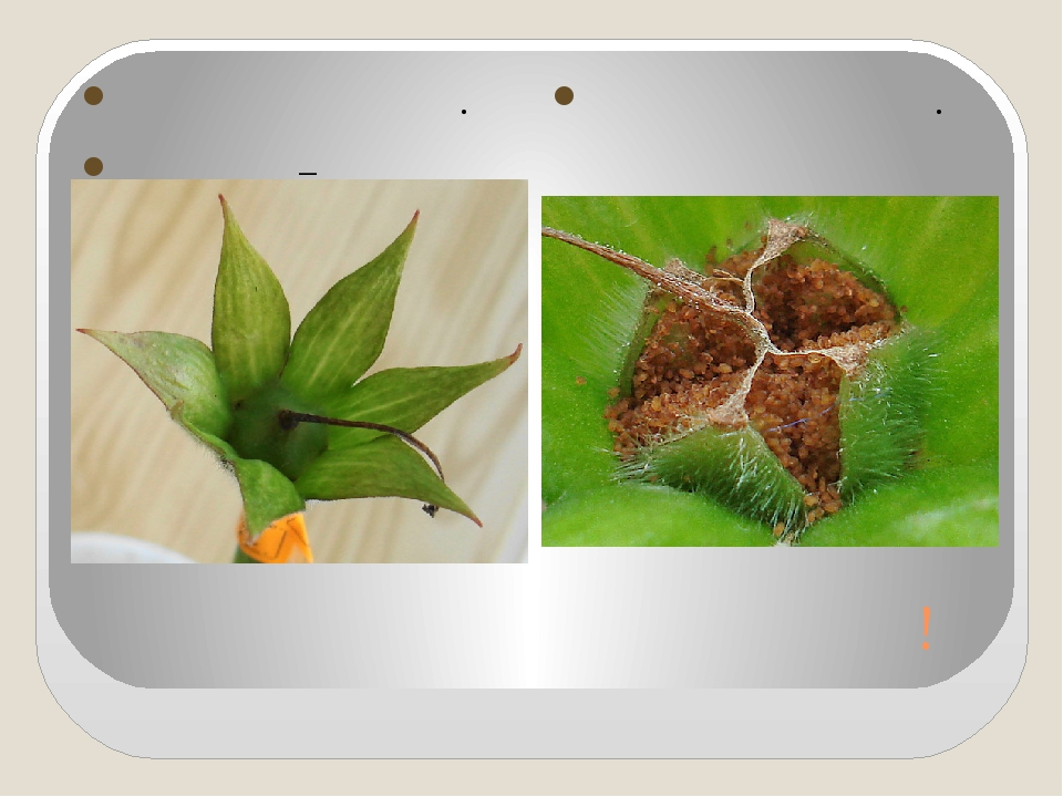 Будут новые глоксинии! Цветы отцвели. Вот они – коробочки! Наши семена.