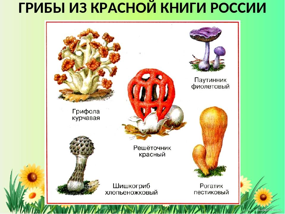 Грибы красной книги россии