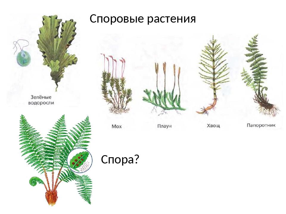 споровые растения примеры растений фото концепцию