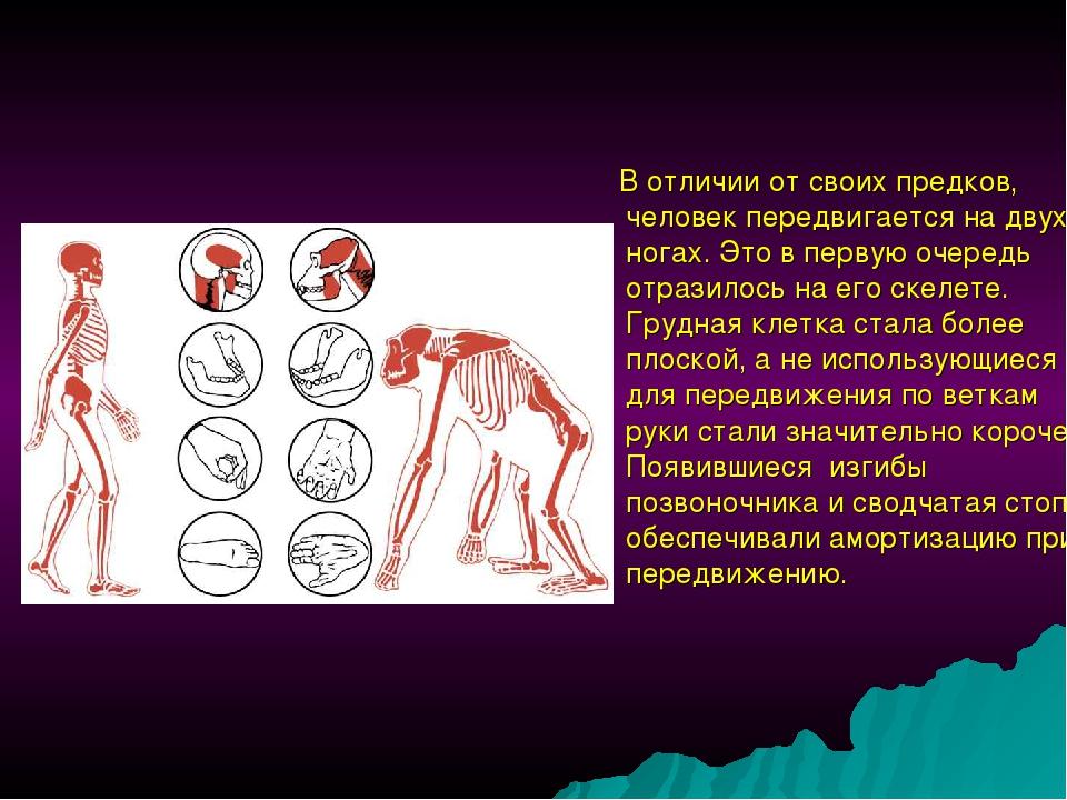 В отличии от своих предков, человек передвигается на двух ногах. Это в перву...