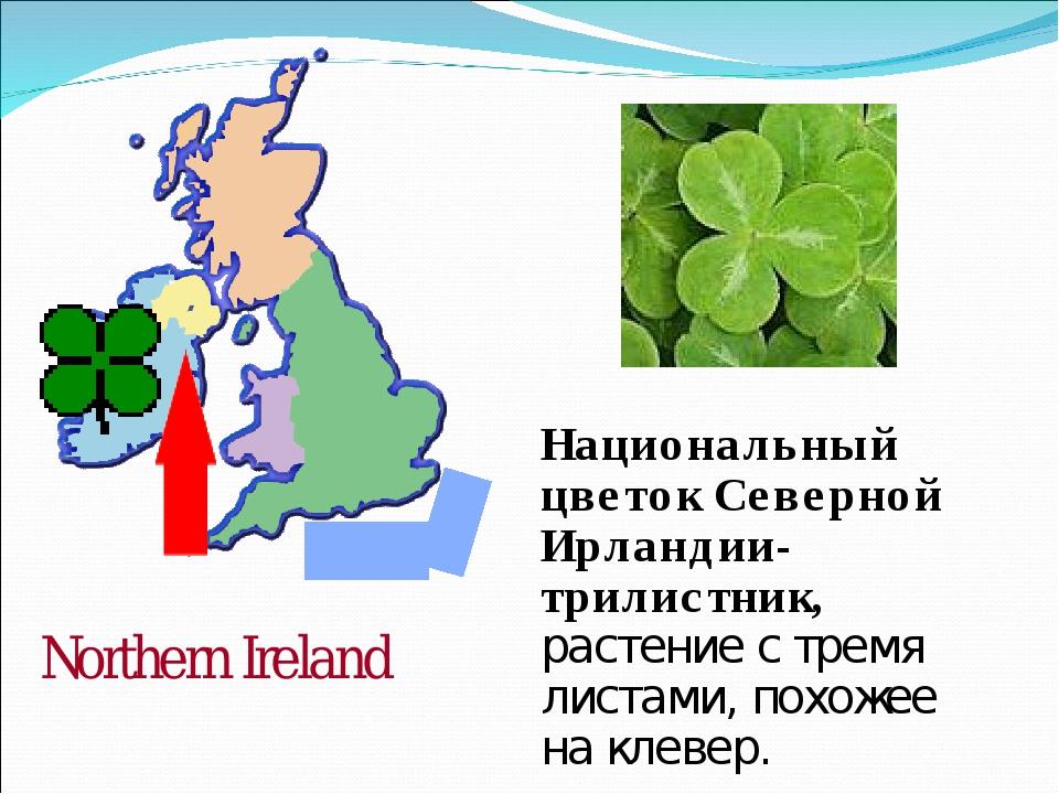 Национальный цветок Северной Ирландии-трилистник, растение с тремя листами, п...