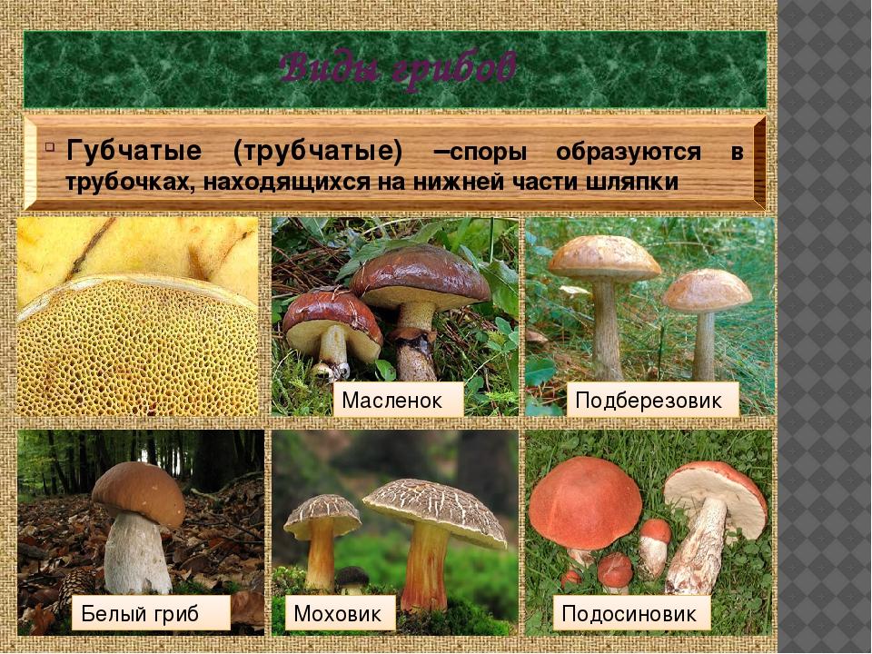 органы трубчатые грибы ядовитые и съедобные фото относительно недавно