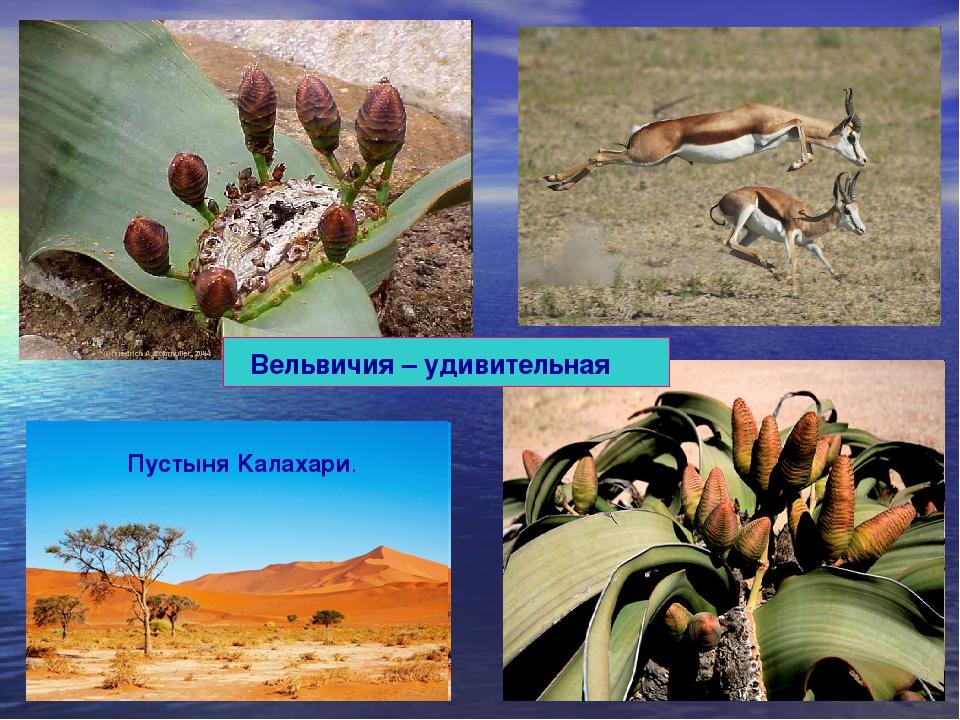 Вельвичия – удивительная Пустыня Kaлахари.