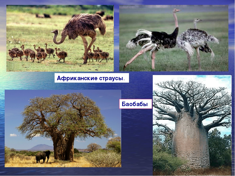 Африканские страусы. Баобабы