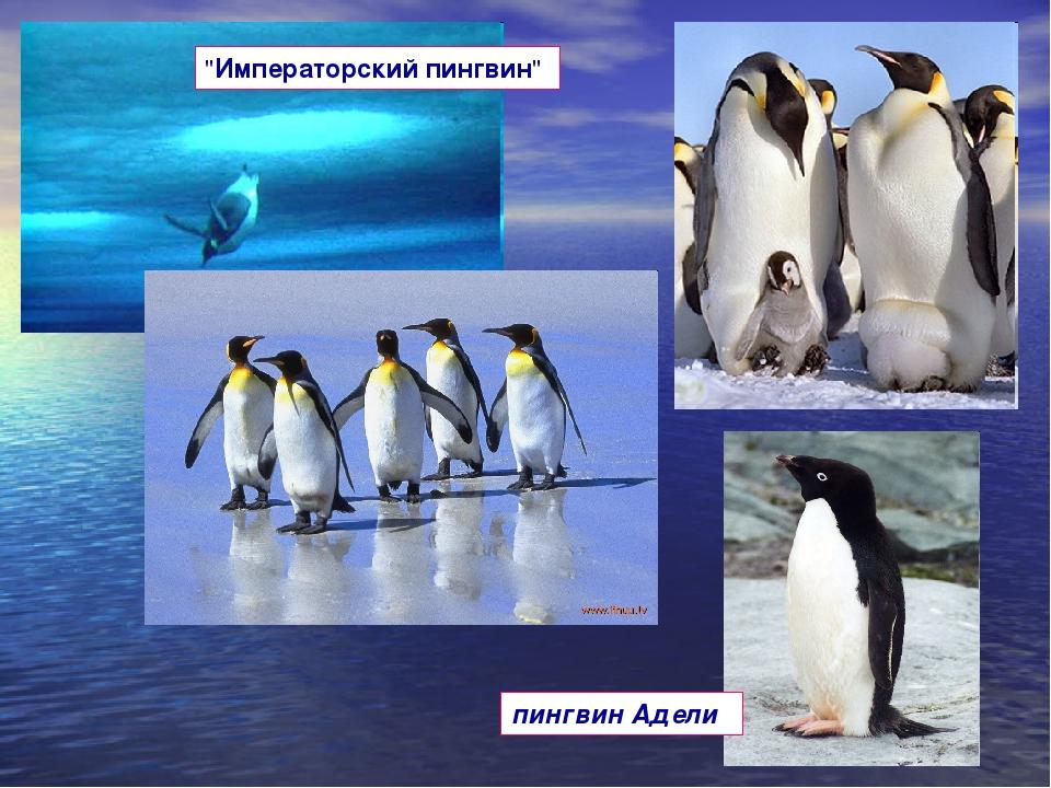 """""""Императорский пингвин"""" пингвин Адели."""