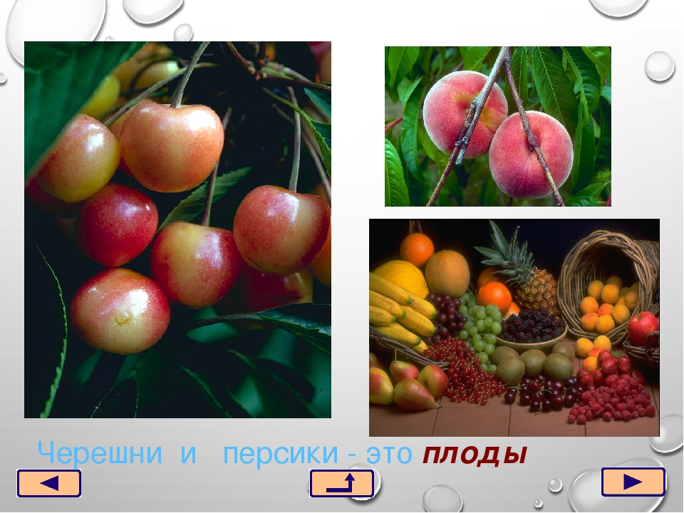 Черешни и персики - это плоды