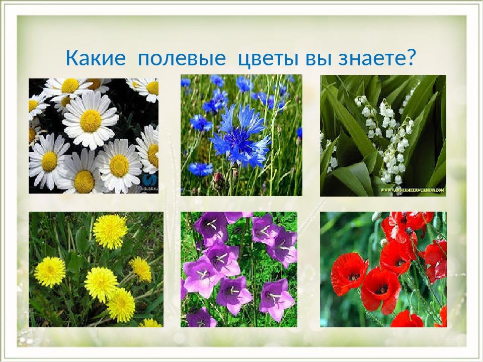 Какие полевые цветы вы знаете? 1 - null