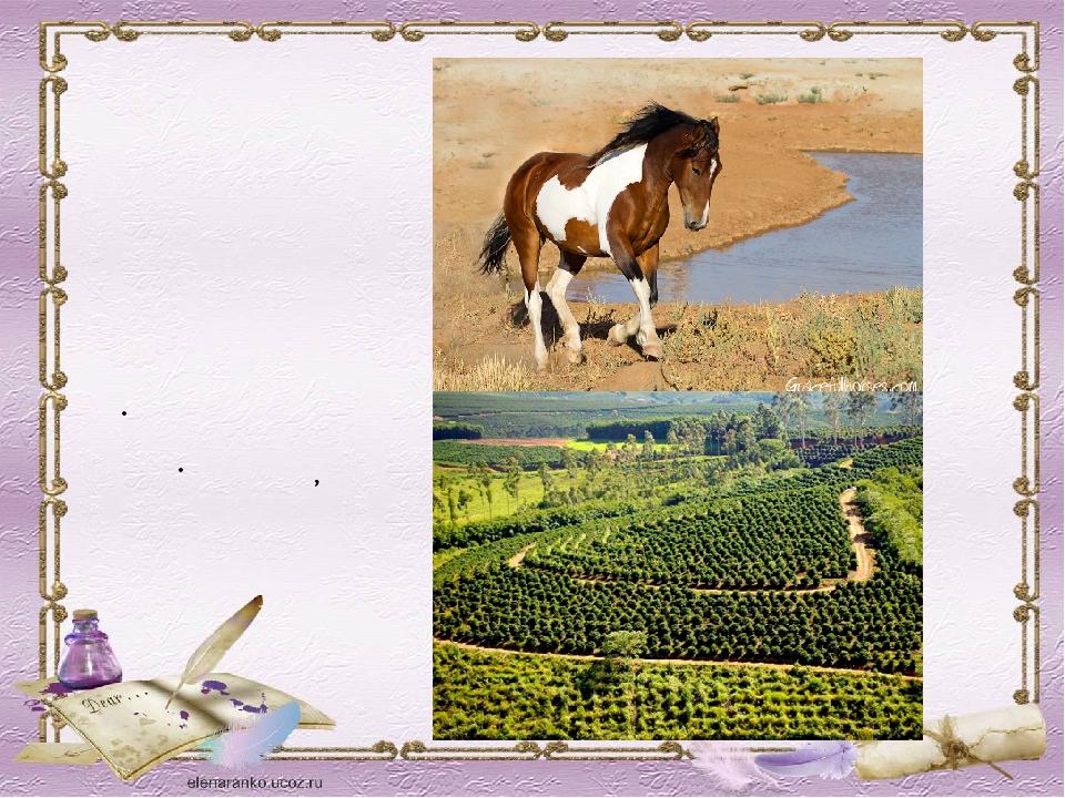 МУСТАНГИ Одичавшая домашняя лошадь североамериканских прерий ПЛАНТАЦИЯ Место,...