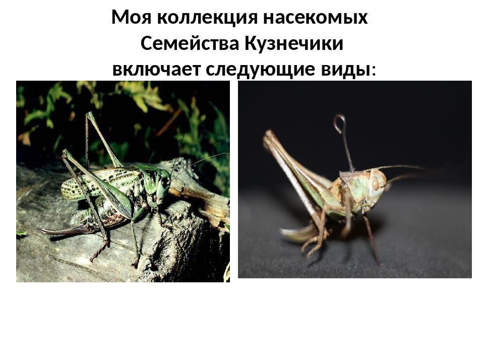 Моя коллекция насекомых Семейства Кузнечики включает следующие виды: Кузнечик...