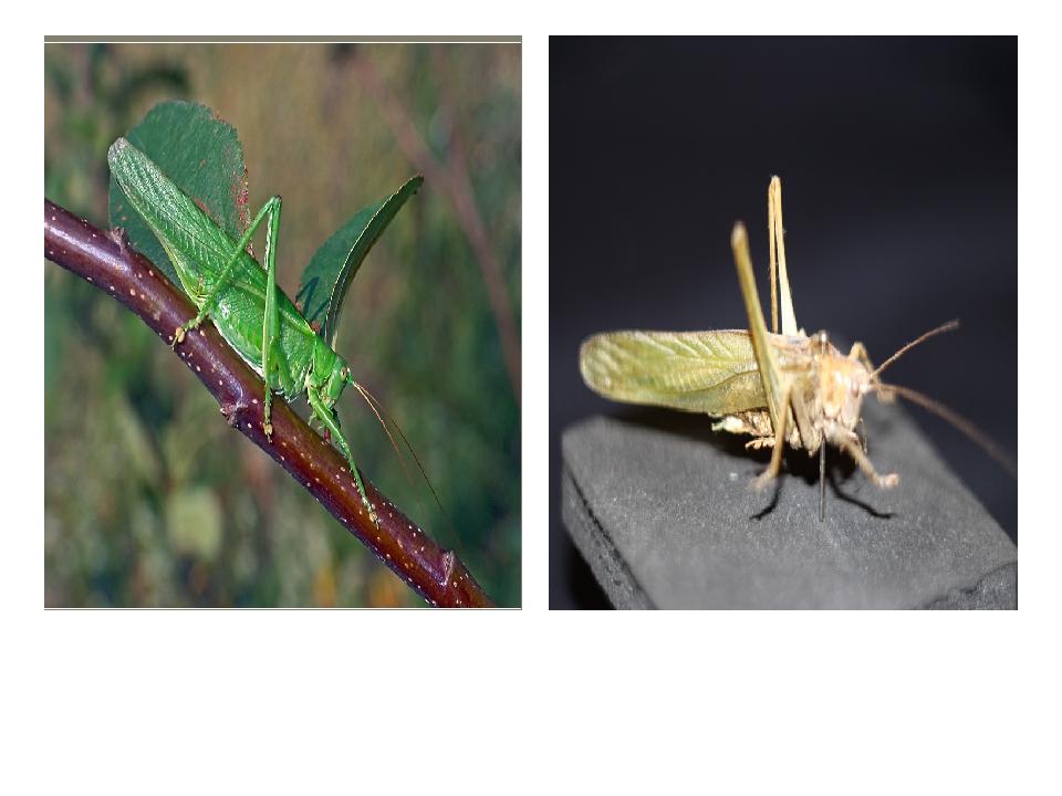 Кузнечик зеленый (из электронной энциклопедии «Википедия») Кузнечик зеленый...