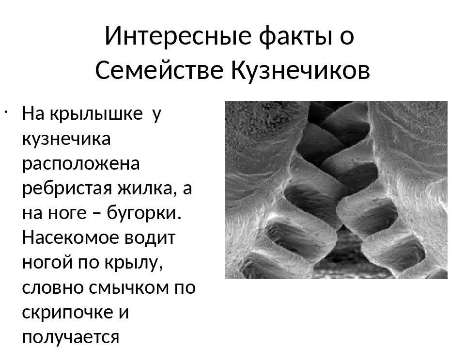 Интересные факты о Семействе Кузнечиков На крылышке у кузнечика расположена р...