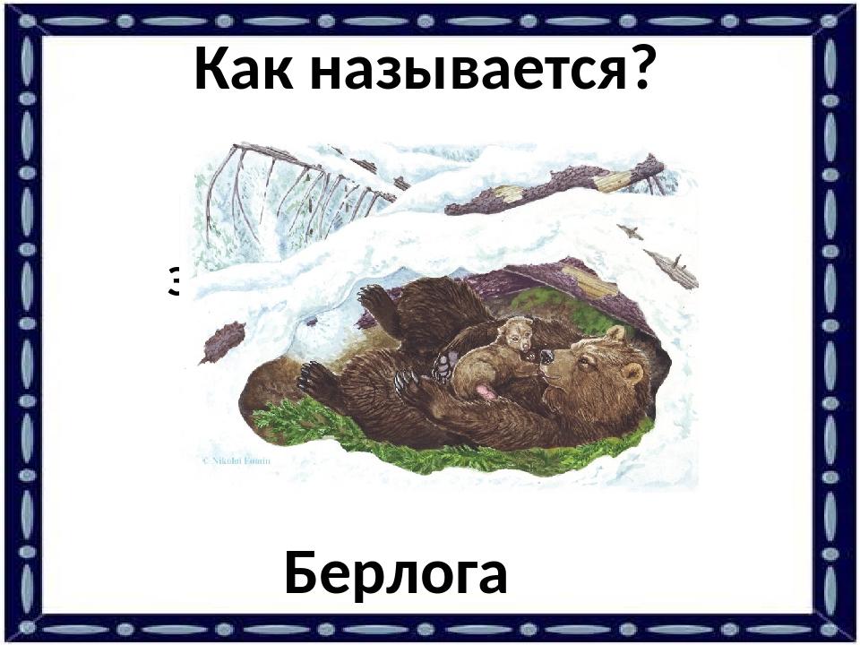 Зимнее лежбище медведя. Берлога Как называется?