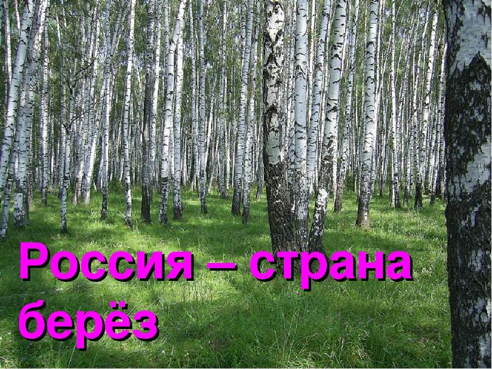 Россия – страна берёз