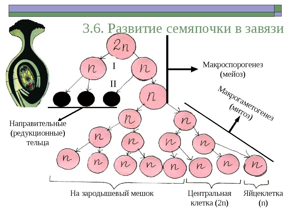 3.6. Развитие семяпочки в завязи Макроспорогенез (мейоз) II I Направительные...