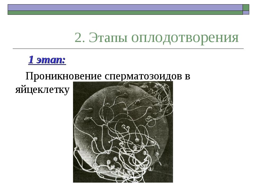 2. Этапы оплодотворения 1 этап: Проникновение сперматозоидов в яйцеклетку