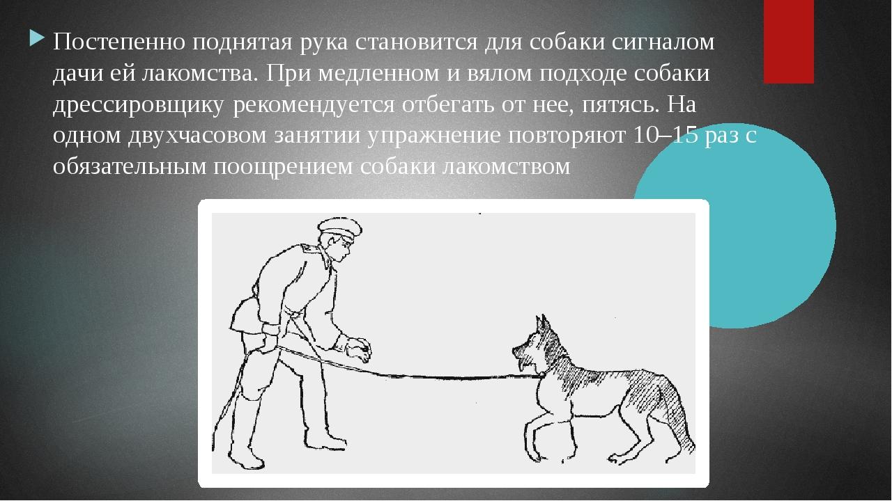 Постепенно поднятая рука становится для собаки сигналом дачи ей лакомства. Пр...