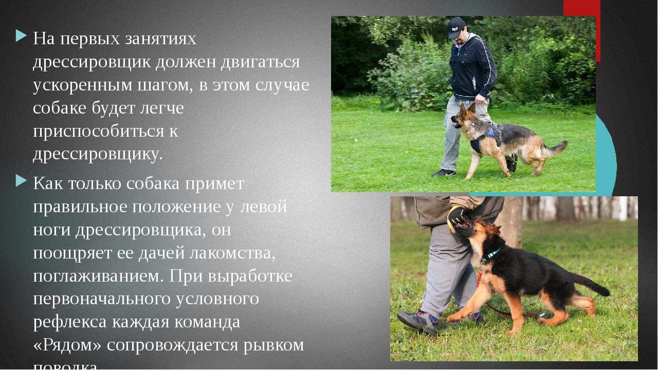Правильным считается такое положение собаки, когда забегание ее вперед будет...