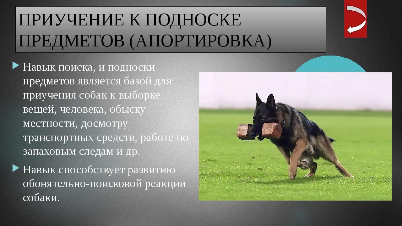 Следующий вид упражнений — приучение собаки держать апортировочный предмет в...
