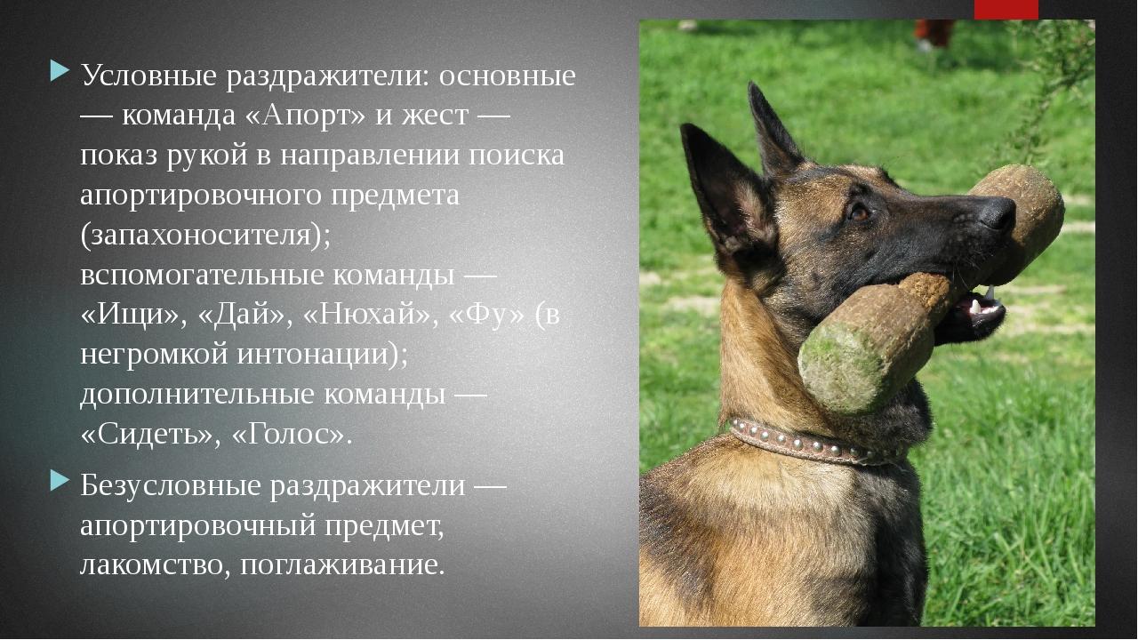 Первоначальный условный рефлекс считается выработанным, если собака активно б...