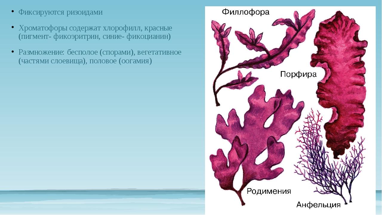 Картинки водоросли биология