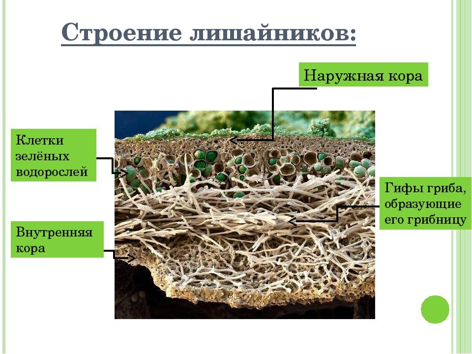 Строение лишайников: Наружная кора Клетки зелёных водорослей Внутренняя кора...