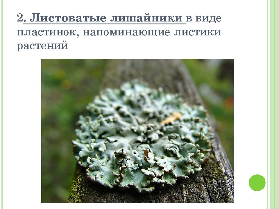 2. Листоватые лишайники в виде пластинок, напоминающие листики растений