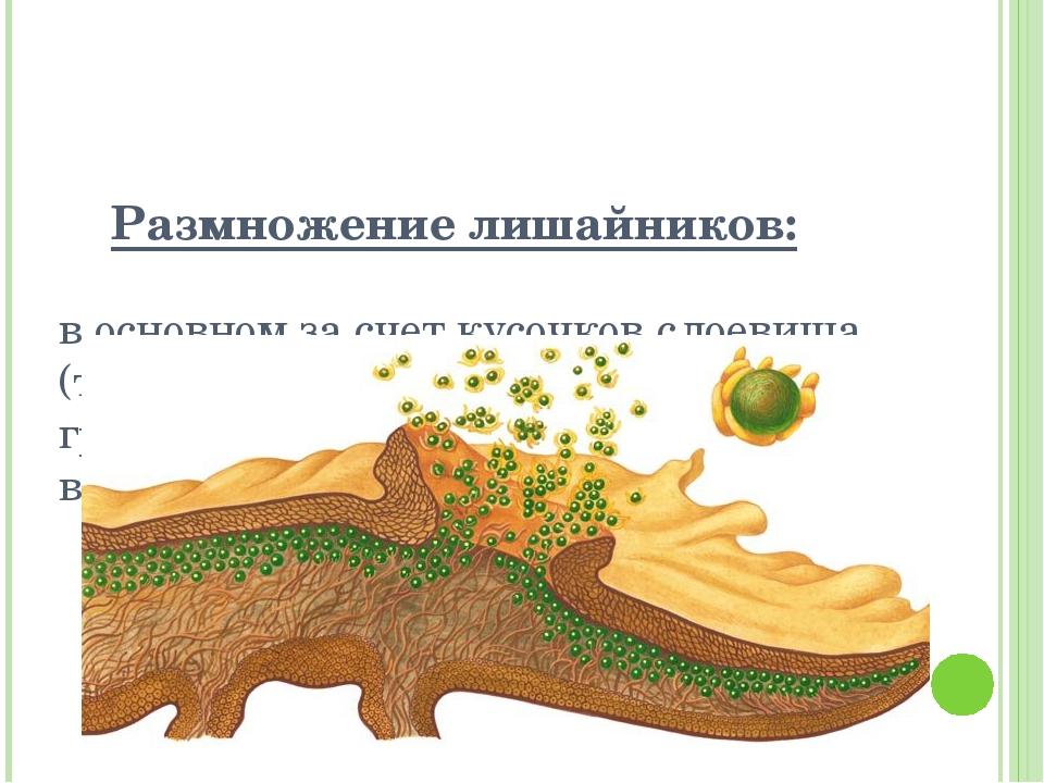 Размножение лишайников: в основном за счет кусочков слоевища (тела лишайника)...