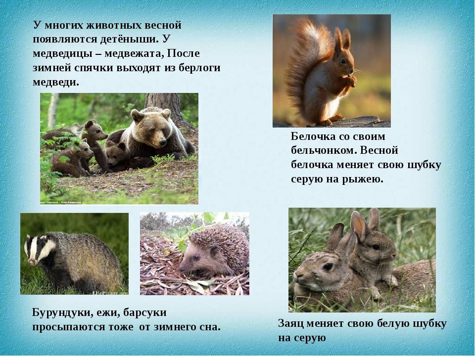 У многих животных весной появляются детёныши. У медведицы – медвежата, После...