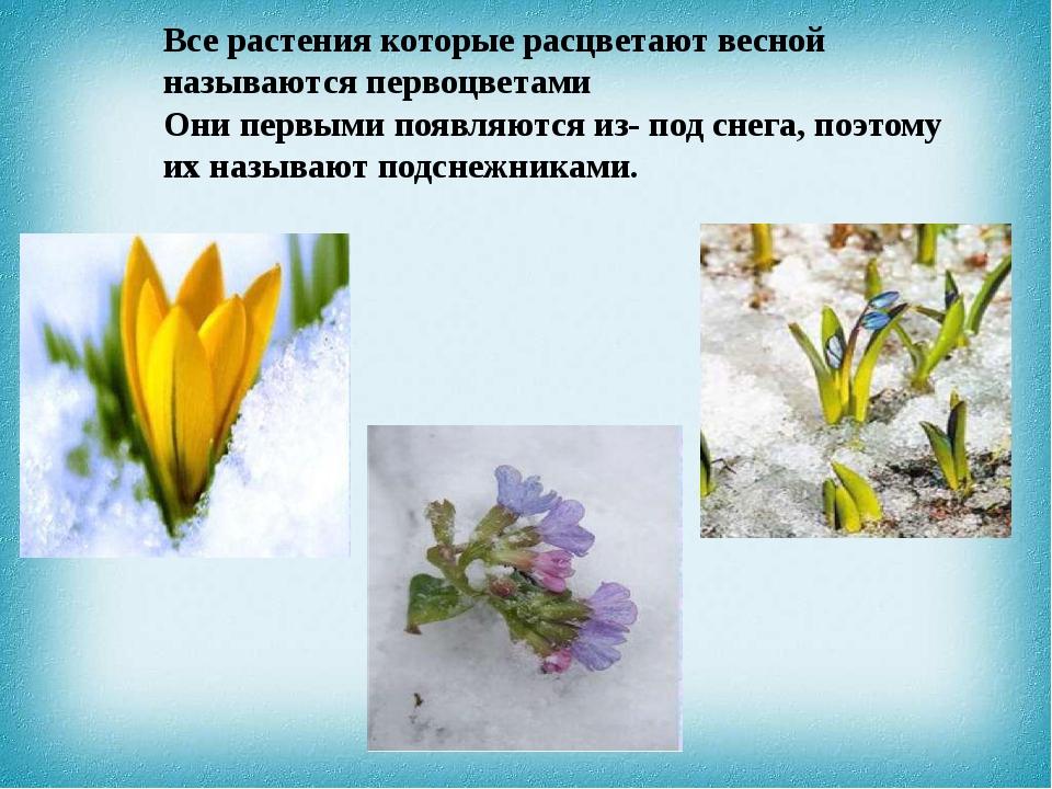 Все растения которые расцветают весной называются первоцветами Они первыми по...