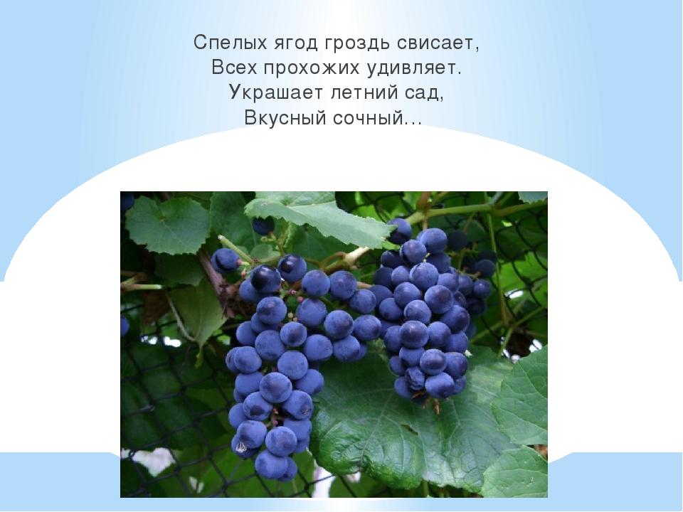Спелых ягод гроздь свисает, Всех прохожих удивляет. Украшает летний сад, Вкус...