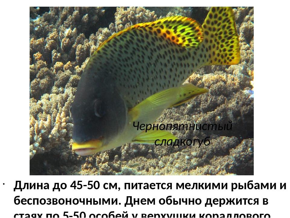 Чернопятнистый сладкогуб Длина до 45-50 см, питается мелкими рыбами и беспозв...