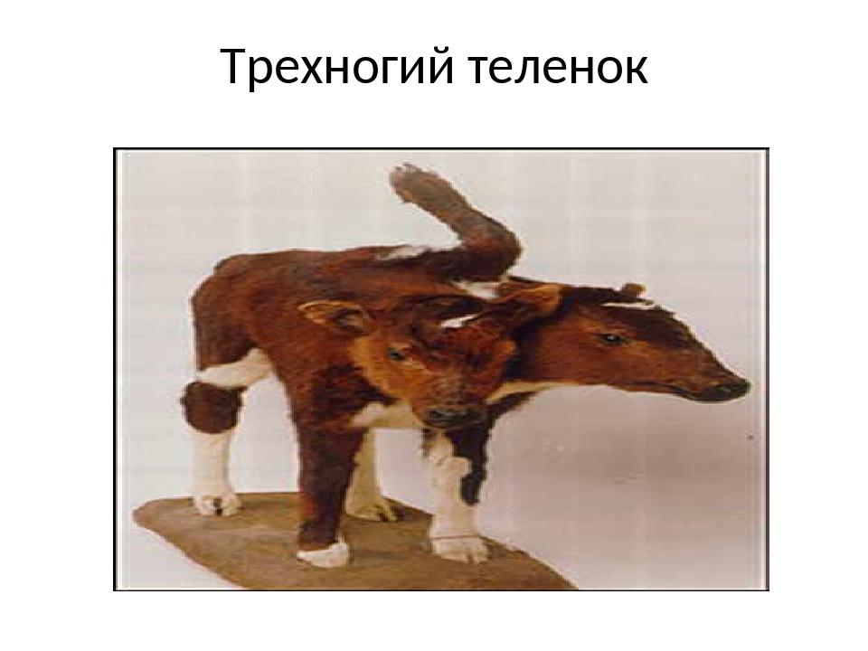 Трехногий теленок