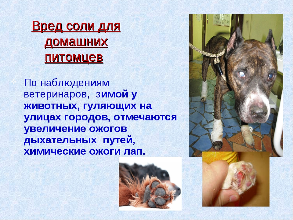 По наблюдениям ветеринаров, зимой у животных, гуляющих на улицах городов, отм...