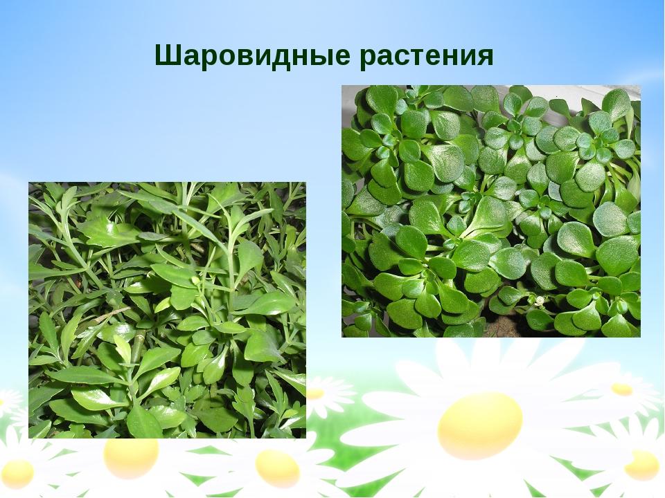 Шаровидные растения