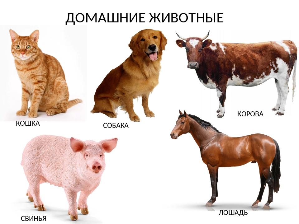 картинки животных свиньи лошади маленькой сяоюань все