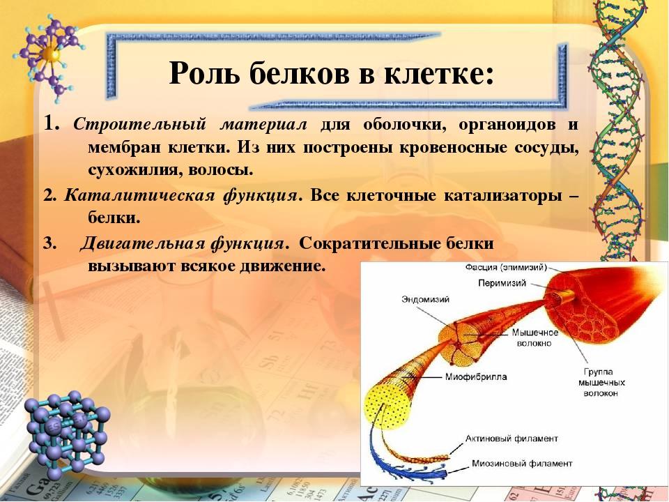 Роль белков в клетке: 1. Строительный материал для оболочки, органоидов и мем...