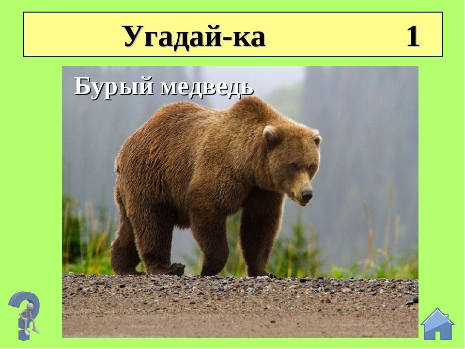 Угадай-ка 1 Летом бродит без дороги Между сосен и берез, А зимой он спит в б...
