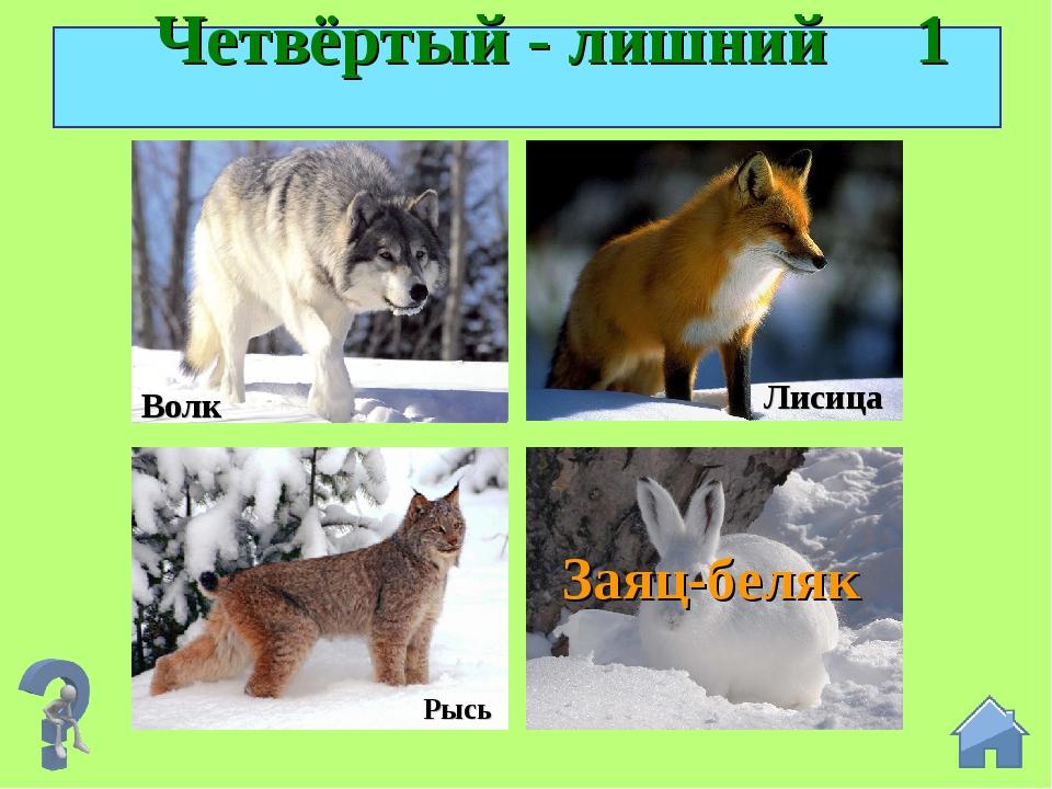 Четвёртый - лишний 1 Рысь Лисица Заяц-беляк Волк