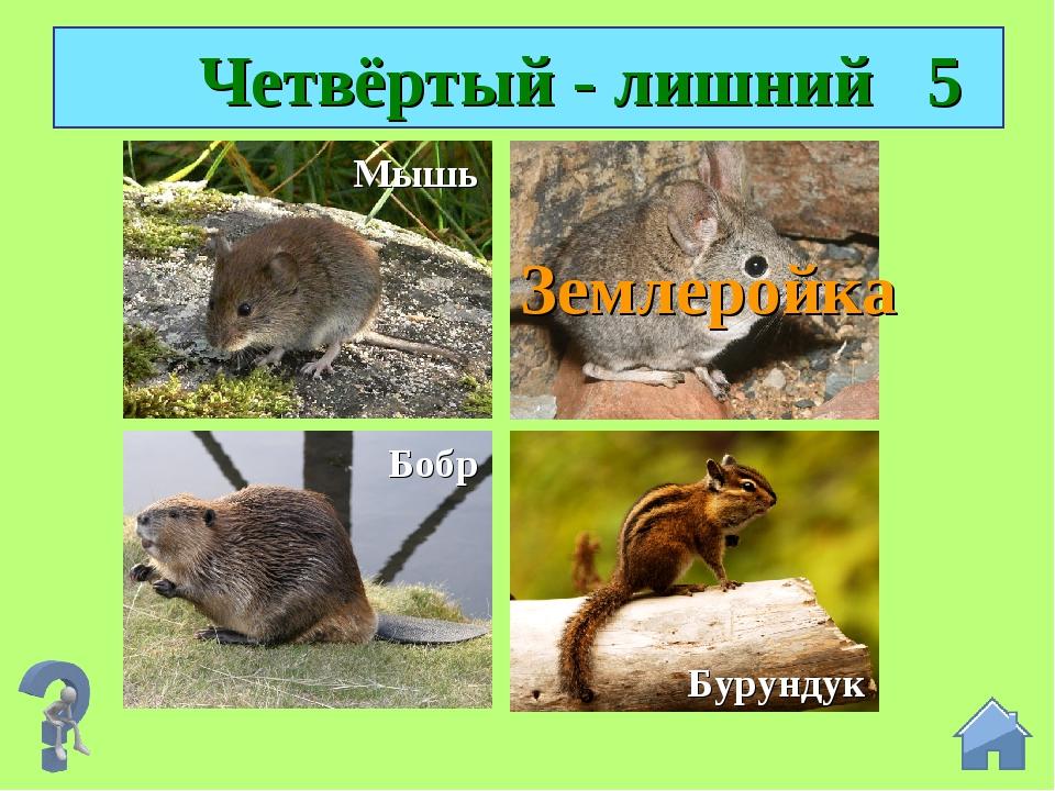 Четвёртый - лишний 5 Землеройка Мышь Бобр Бурундук