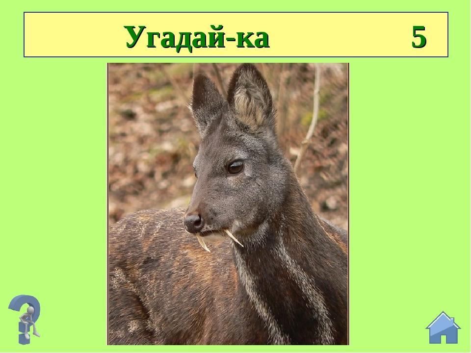Угадай-ка 5 Коль клыки заменяют рога, значит, этот олень — … кабарга.