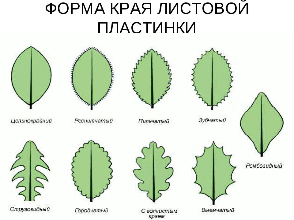 одном следующих формы края листовой пластинки картинки встречается еще